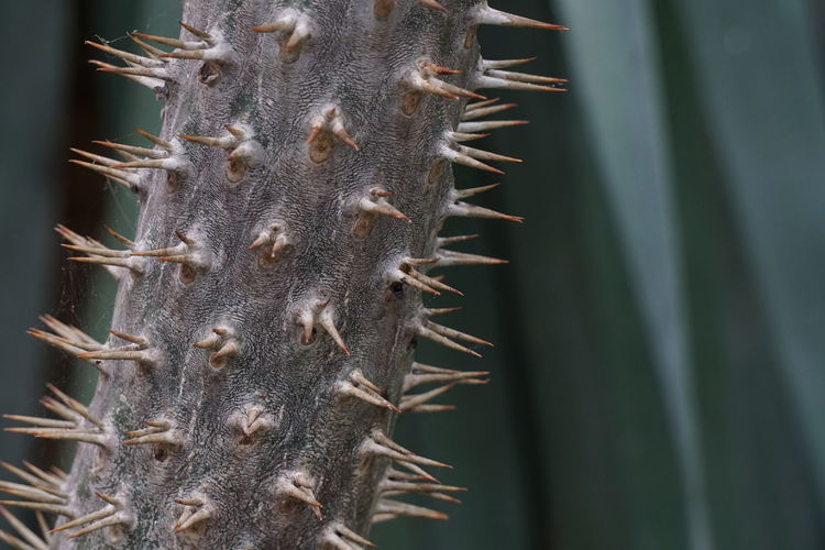 Close-up of thorns on branch