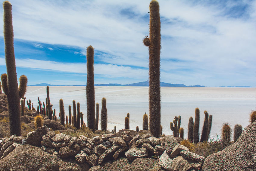 Isla Incahuasi - The Bolivian Salt Flats Blue Cacti Cactus Cactus Cloud Cloud - Sky Growth Isla Incahuasi Log Nature Outdoors Pebble Rock - Object Scenics Sea Sky Stone Stone - Object Tranquil Scene Tranquility Tree Tree Trunk Water Wood - Material Wooden Post