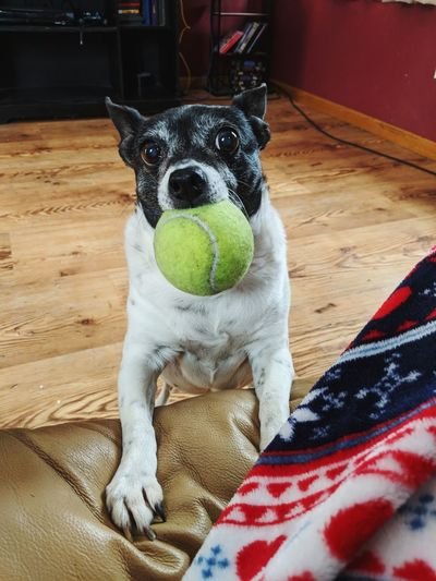 Portrait of dog carrying ball in mouth at home