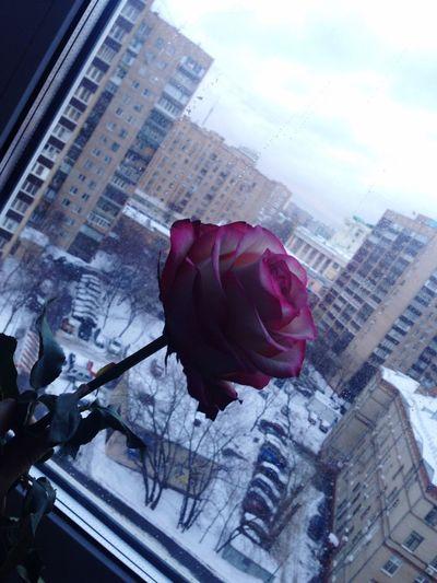 Picoftheday Follow Followme Followback Follow4follow Followforfollow Rose🌹 Flower