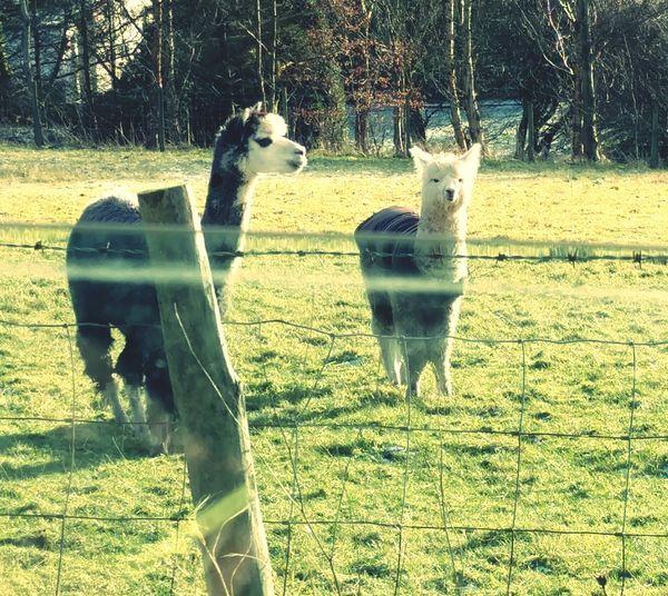 Llamas Forest Walk Fence