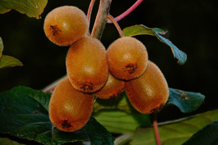 Close-Up Of Kiwis Growing At Night