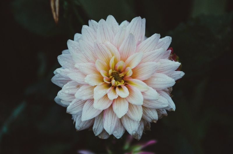 Flower Petal Flower Head Fragility Beauty In Nature Nature Growth Freshness Focus On Foreground Blooming Close-up Pollen No People Plant Dahlia Day Outdoors