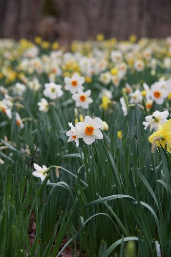 Nikon Nikond750 Nature Naturaleza Garden Jardin Park Parque  Daffodil Daffodils Narciso Narcisos Yellow Green No People Flowerbed Springtime Blade Of Grass Outdoors Close-up Freshness Beauty In Nature Flowering Plant Fragility Vulnerability