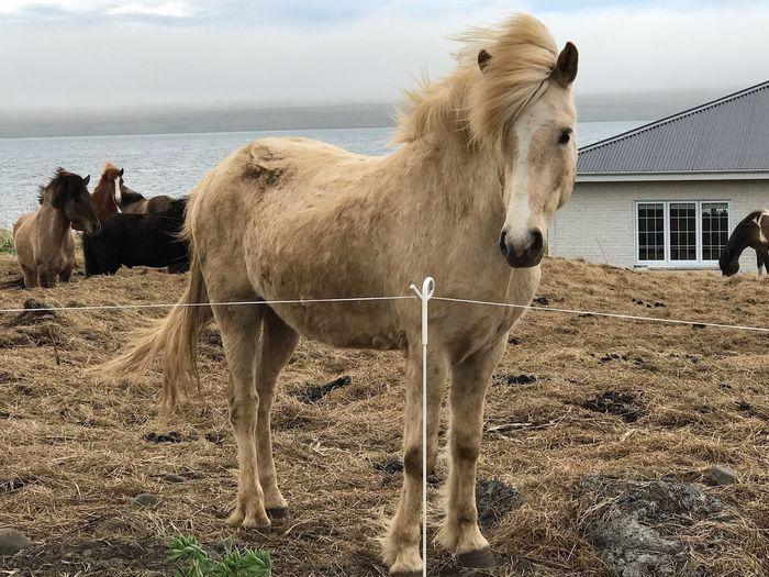 Icelandic horse Horse Domestic Animals Outdoors No People Animal Themes