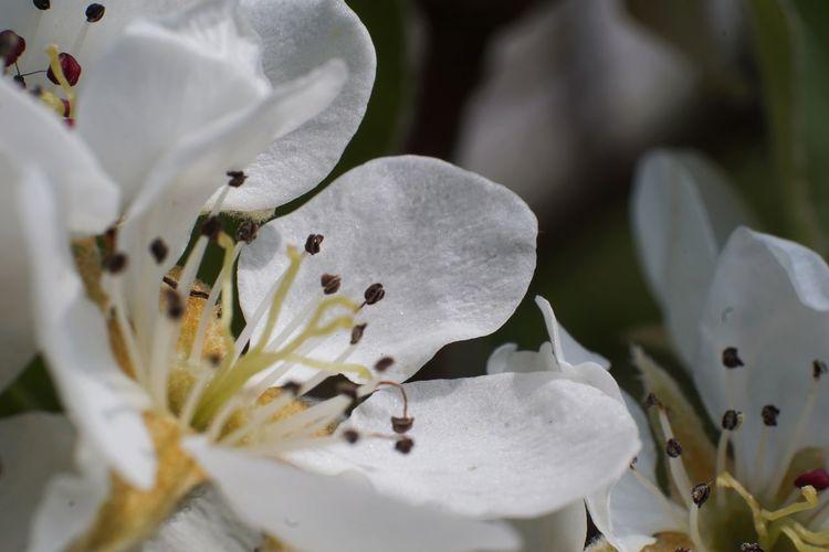 Macro Photography Macro Pear Blossom Flower Head Flower Close-up Stamen Pistil Blooming In Bloom Pollen Petal Single Flower
