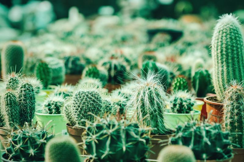 Close-Up Of Cacti