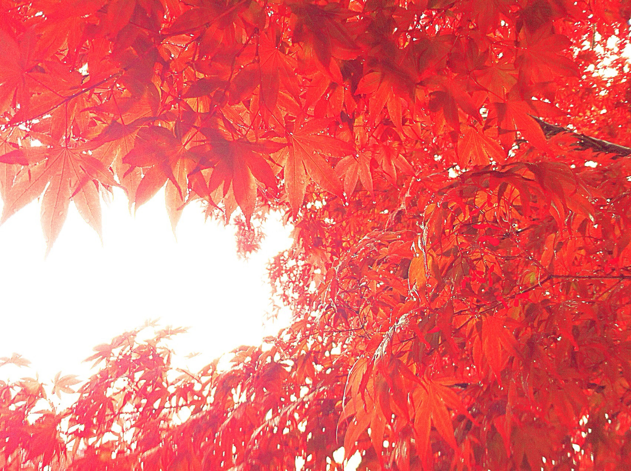 red, tree, branch, autumn, season, change, growth, low angle view, nature, beauty in nature, backgrounds, full frame, tranquility, leaf, outdoors, day, no people, scenics, orange color, sunlight