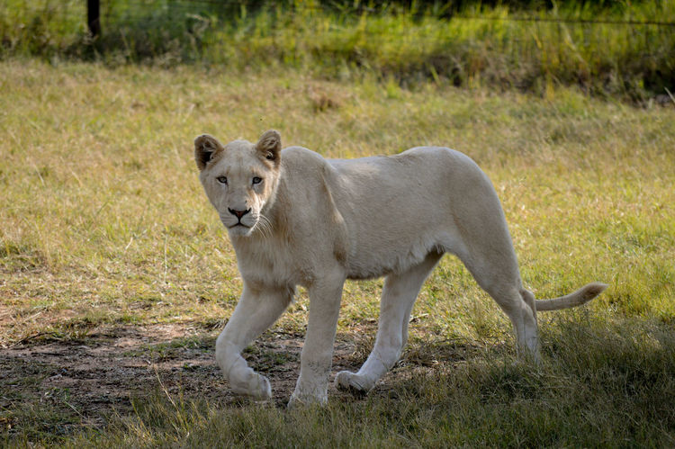 White Lion Africa African Lion Animal Gauteng Lioness Nature North Of Johannesburg Selective Focus Serabi South Africa The Lion Park White Lion