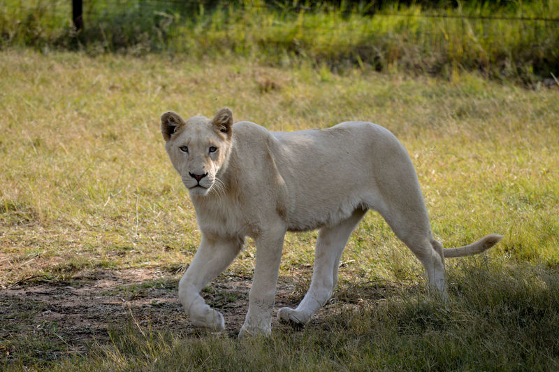 Portrait Of Lioness On Field