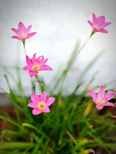 Rain lilies Freshness Botany Leaf Day Focus On Foreground Plant Part Nature Growth Flower Head Close-up Fragility