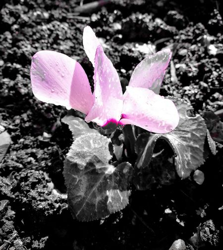 Pink Color Ciclamino Day Outdoors Fragility Catchcolor