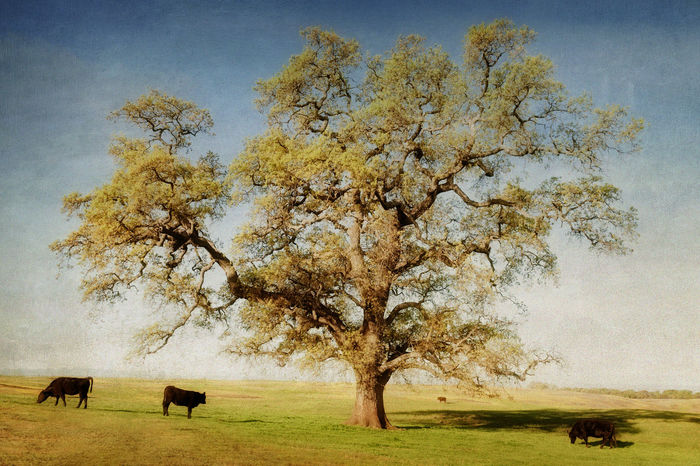 North Table Mountain Ecological Reserve, California. A wonderful oak tree that is a common sight in the northern California area near Oroville. Animal Themes Art Beauty In Nature California Cows Cows In A Field Day Field Fine Art Photography Grass Grazing Landscape Mammal Nature Nature No People Oroville Outdoors Scenics Sky Texture Textured  Tranquil Scene Tranquility Tree