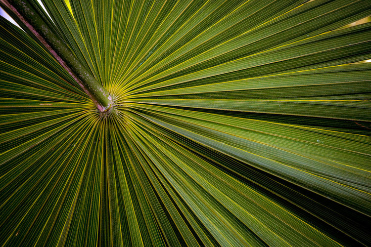 Palm Tree Leaf Plant Part Tropical Climate Palm Leaf Growth Beauty In Nature Plant Green Color Tree Full Frame Nature No People Backgrounds Pattern Natural Pattern Close-up Striped Frond Outdoors Abstract Rainforest Ornamental Garden Shape Object Objects Background Background Texture Textured  Texture