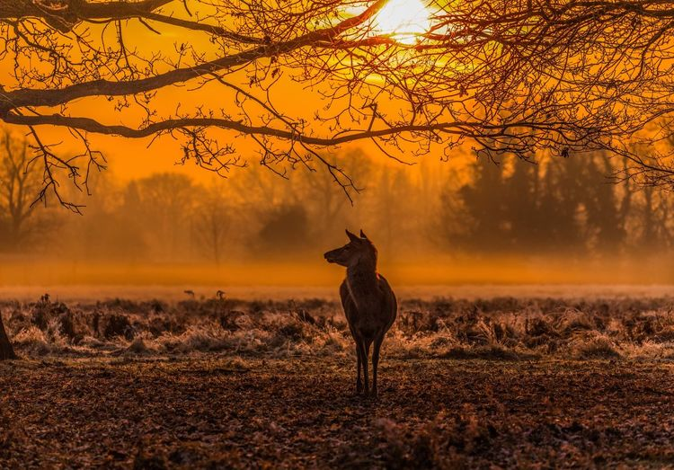 Silhouette deer on landscape against sky during sunset