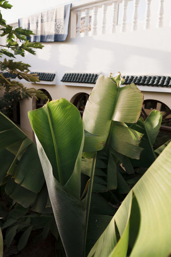 Banana Tree in Backyard Plant Growth Nature No People Day Outdoors Marocco Landscape Africa North Africa BananaNutella Garden Leaf Plant Part Green Color Close-up Beauty In Nature Architecture Building Exterior Built Structure High Angle View Freshness Potted Plant Focus On Foreground Flower Leaves Houseplant Morocco Morocco Landscape