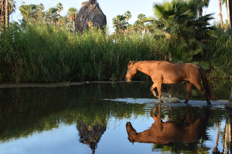 Estero Los Cabos Palm Tree Beauty In Nature Day Horse One Animal Water First Eyeem Photo