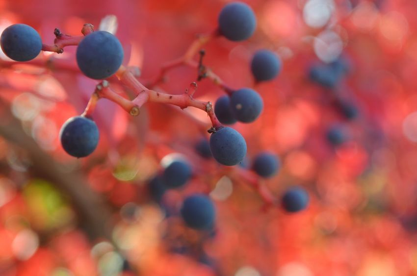 Close-up Fruit Berry Fruit Nature No People Fragility Healthy Eating Outdoors Day Freshness Red Color Blue