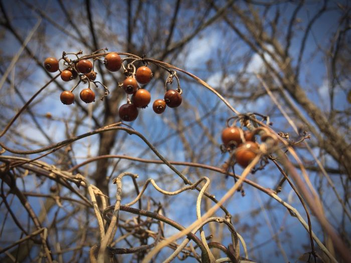 Close-up of fruits on tree against sky