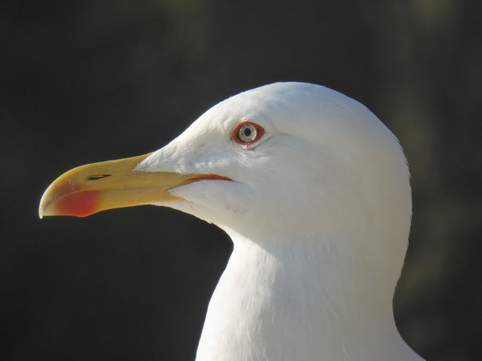All alone Paint The Town Yellow Animal Themes Animal Wildlife Animals In The Wild Beak Bird Bird Of Prey Bolonie Bolonie Art Bolonie Style Close-up Day Love His Eyyes Nature No People One Animal Outdoors Seagull White Color Yellow Beak The Week On EyeEm