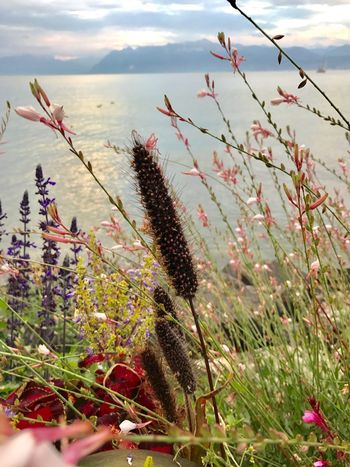 Switzerland Mont Blanc Morges Plants And Flowers Growth Nature Plant Beauty In Nature Flower Outdoors Day Freshness No People Sky Tranquility Fragility Scenics Close-up Grass Flower Head Lake View Morges Suisse