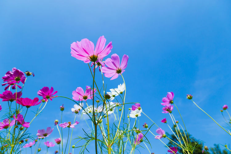 Colorful Cosmos and Blue Sky Beauty In Nature Blue Close-up Cosmos Flower Day Flower Flower Head Flowering Plant Fragility Freshness Growth Inflorescence Nature No People Petal Pink Color Plant Plant Stem Sky Vulnerability