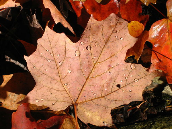Huntsville, Canada. Mizzy Lake Trial. Unforgettable day. Autumn Autumn Colors Autumn Leaves Beauty In Nature Canadian Autumn Change Close-up Leaf Leaf Vein Leaves Maple Leaf Orange Color Rain Drops Red Leaves Season  Tranquility 43 Golden Moments Colour Palette