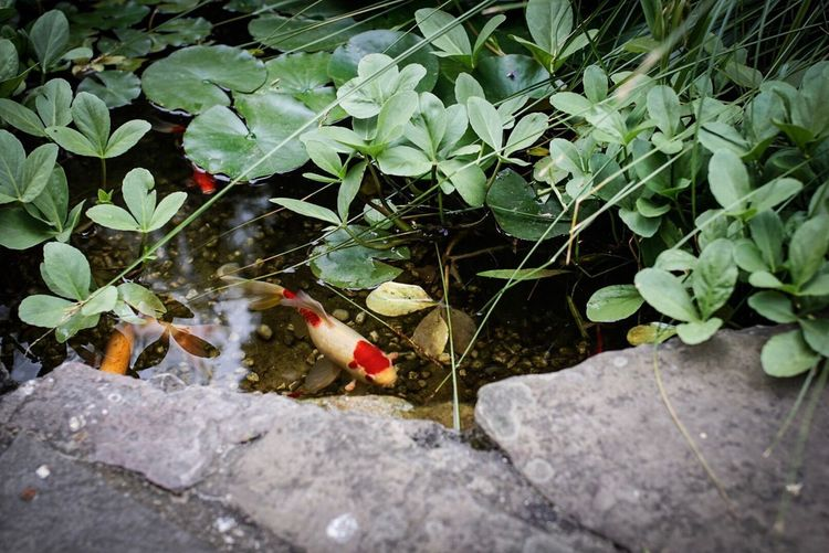 Leaf Outdoors High Angle View No People Nature Day Plant Water Growth Animals In The Wild Animal Themes Beauty In Nature Close-up Freshness Fish Koi