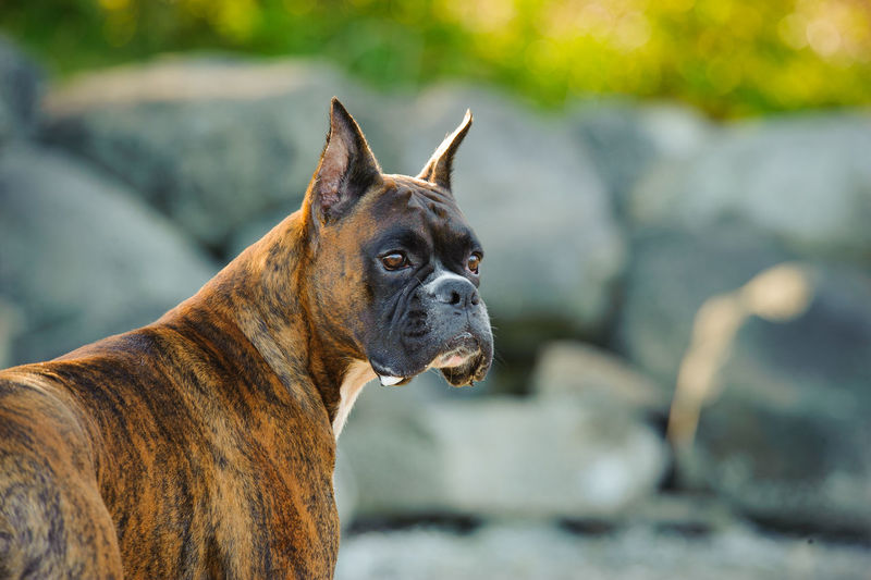 Close-Up Of Dog Looking Away While Standing Against Rock Formation