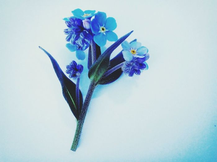 Blue Flowers Blue Color Nature Nature Photography Naturr_collection Simple Photography Simplemoments Beauty In Nature Joy Of Life
