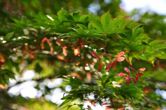 맑고 따뜻한 아침 햇살을 맞으며 . . #하루한컷 #보성녹차밭 #대한다원 #단풍나무 #단풍씨앗 #5dmark4 #신계륵 ef2470f28liiusm Leaf Nature Plant Summer No People Outdoors Day Tree Beauty In Nature Close-up Flower Branch Freshness