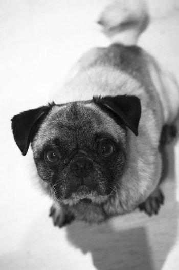 High angle portrait of pug