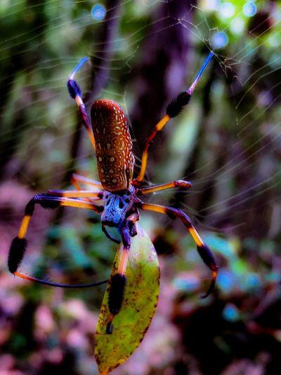 Spider Spider Web Banana Spider Golden Orb Golden Orb Spider Golden Orb Weaver Spider