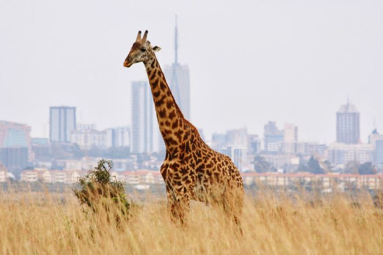 Nairobi with giraffe Nairobi Kenya Travel Animal Themes Architecture Giraffe Animal Building Exterior Built Structure One Animal Animal Wildlife Animals In The Wild Nature Landscape City No People Urban Skyline Travel Destinations My Best Travel Photo