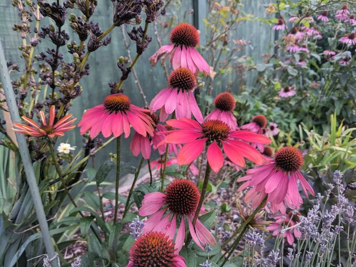 Nature Beauty In Nature Flower Head Pollen Blooming Echinacea EyeEm Nature Lover English Countryside Garden Flower Flower Summer Enchanting Enchanting Nature English Garden Cottage Garden  Enchanted Flowers