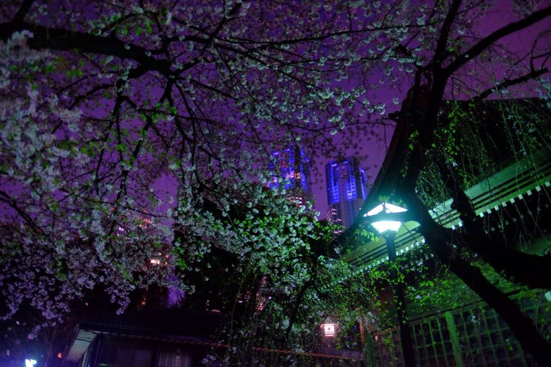 Showcase April Yozakura Nightphotography Night Lights Urban Nature Sakura Cherry Blossoms Japan Photography Fujifilm Fujifilm_xseries XF16mmF1.4 Velvia The Purist (no Edit, No Filter)