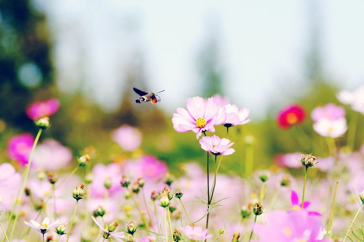 Insect Flower Cosmos Flower