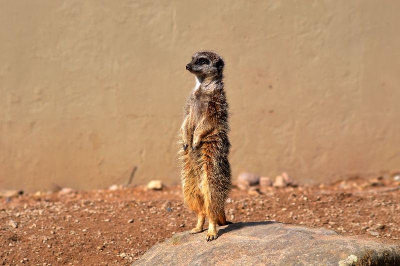 Meerkat Rearing Up On Rock Against Wall