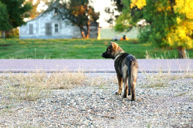 Zeppelin as a puppy and the old farmhouse across the way from us before it got demolished Hello World Check This Out Hanging Out Taking Photos Enjoying Life Farmcountry Southdakota South Dakota Old Buildings Oldfarmhouse Old Farmhouse Fall Season German Shepherd Germanshepherd German Shepherd Dog  German Shepherd Puppy Sablegermanshepard Man Best Friend Mansbestfriend Dogshots Dogs Of EyeEm Dogs