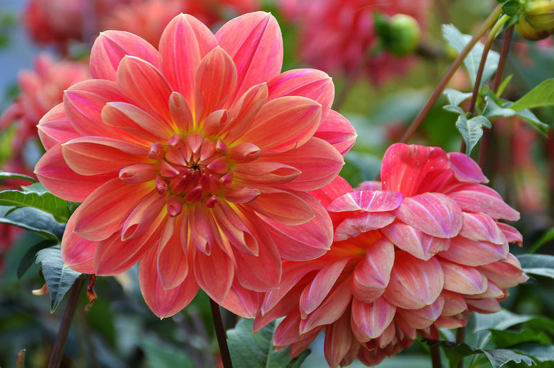 Autumn Beauty In Nature Berlin Blooming Blossom Botany Britzer Garden In Berlin Close-up Day Exhibition Of Flower Fire Of Dahlias Flower Flower Head Focus On Foreground Fragility Freshness In Bloom Nature No People Outdoors Petal Pink Color Plant Softness Special Exhibition