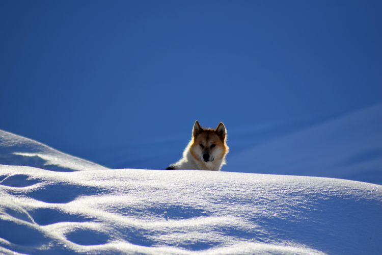 Low angle view of dog on snow against clear blue sky