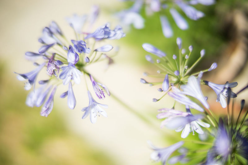 blue flower Beauty In Nature Blue Blue Flowers Blurred Background Close-up Daylight Deep Of Field Flower Flowers Flowers,Plants & Garden Fresh Herbs  Freshness Garden Gardening Green Growth Herbes Macro Mitakon 50mm F0.95 Nature Plant Plants Tilted