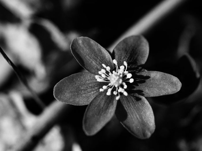 ⚫️⚪️ Blackandwhite EyeEm Selects Flower Close-up Beauty In Nature Plant Flowering Plant Growth Petal Insect Invertebrate Freshness Fragility Vulnerability  Inflorescence Flower Head No People Focus On Foreground Pollen One Animal Nature Day