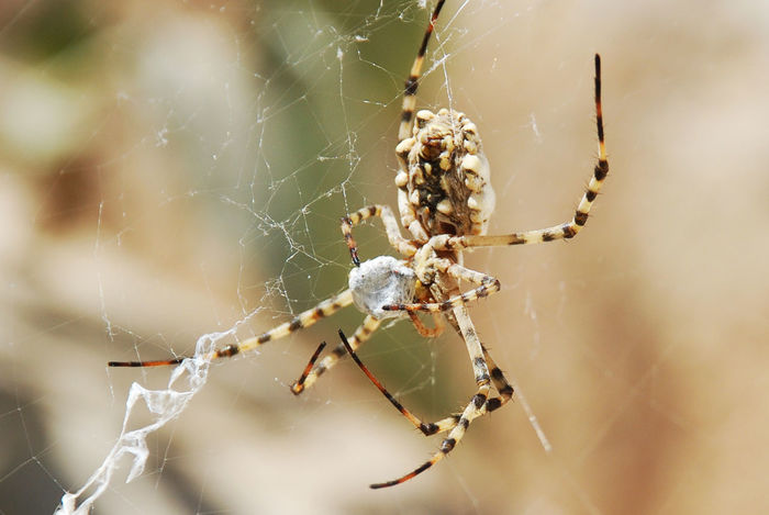 Today 's snapshot ... Spider - shark in precious hunting Macro Beauty Macro Photography Animal Leg Animal Themes Animals In The Wild Close-up Day Focus On Foreground Insect Macro Macro Nature Nature No People One Animal Outdoors Spider Spider Web Survival Web
