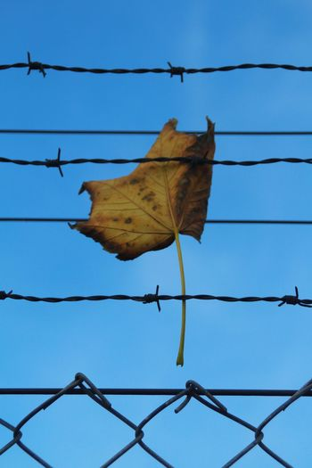Busted by barbes Leaf Autumn Barbed Wire Protection Sky Close-up Razor Wire Fall Fence Security Chainlink Autumn Mood