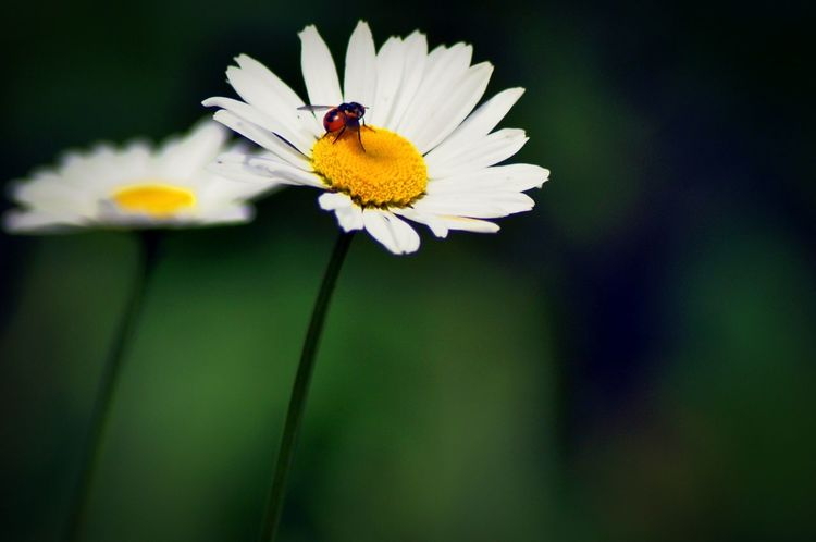 Murree, Pakistan Flower Insect Nature Bee Freshness Pollination Close-up Macro Nature Pollen Blooming Daisy First Eyeem Photo
