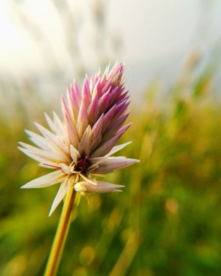 Close-up of pink flower growing on field