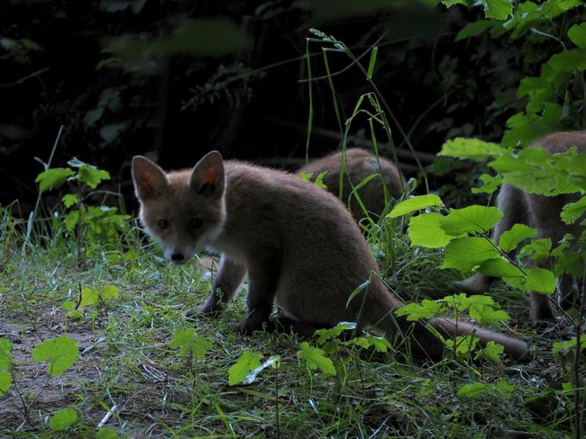 Fox cubs playing at dusk Animal Themes Animal Wildlife Animals In The Wild Cub Dusk Fox Nature Outdoors