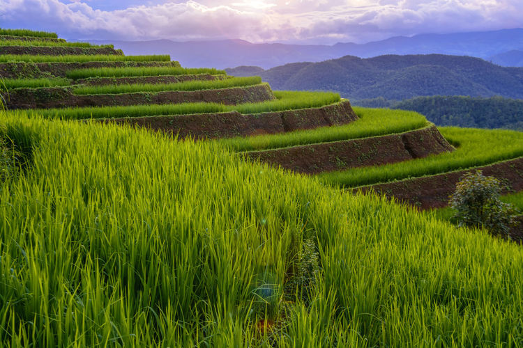 Chiang Mai | Thailand Chiangmai Agriculture Beauty In Nature Crop  Day Environment Farm Field Gardening Grass Green Color Growth Land Landscape Nature No People Outdoors Plant Rural Scene Scenics - Nature Sky Tranquil Scene Tranquility