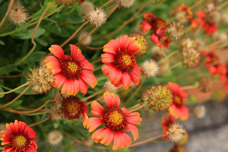 Orange Pink Flower Yellow Orange Gaillardia Pulchella Flower Head Flower Botanical Garden Close-up Plant Plant Life Blooming Love Is Love